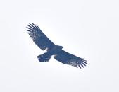大冠鷲 Crested Serpent Eagle :DSC_1878.JPG