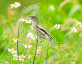 灰背椋鳥  Gray-backed Starling :DSC_6898.JPG