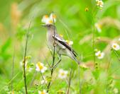 灰背椋鳥  Gray-backed Starling :DSC_6909.JPG