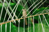紅尾伯勞Brown Shrike  :DSC_6447.JPG