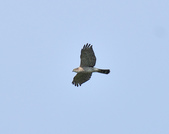 日本松雀鷹Japanese Lesser Sparrow Hawk  :DSC_6086.JPG