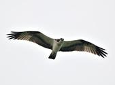 魚鷹 Osprey      :DSC_0274.JPG