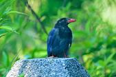 台灣藍鵲  Taiwan Blue Magpie :DSC_2338.JPG