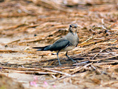 燕鴴 Large Indian Pratincole :DSC_2558.JPG