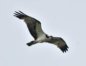 魚鷹 Osprey      :DSC_0454.JPG