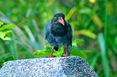 台灣藍鵲  Taiwan Blue Magpie :DSC_2340.JPG