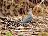 燕鴴 Large Indian Pratincole :DSC_2575.JPG