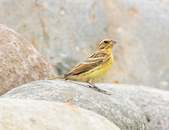 金鵐 Yellow-breasted Bunting  :DSC_7176.JPG