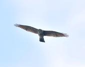 日本松雀鷹Japanese Lesser Sparrow Hawk :DSC_9177.JPG