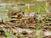 金翅雀  Oriental Greenfinch :DSC_0485.JPG