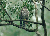 北雀鷹  Northern Sparrow Hawk :DSC_1458.JPG
