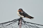 家燕  Barn Swallow   :DSC_4617.JPG