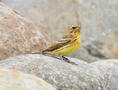金鵐 Yellow-breasted Bunting  :DSC_7183.JPG