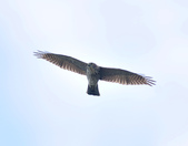 日本松雀鷹Japanese Lesser Sparrow Hawk :DSC_9178.JPG