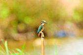 翠鳥  Common Kingfisher       :DSC_6003.JPG