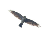 日本松雀鷹Japanese Lesser Sparrow Hawk :DSC_9182.JPG