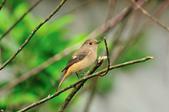 黃尾鴝 Daurian Redstart  :DSC_2287.JPG