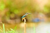 翠鳥  Common Kingfisher       :DSC_6015.JPG