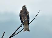 老鷹   Black kite :DSC_1404.JPG