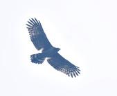 大冠鷲 Crested Serpent Eagle :DSC_1889.JPG