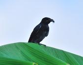 大卷尾Black Drongo  :DSC_3212.JPG