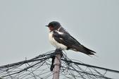家燕  Barn Swallow   :DSC_4618.JPG