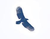 大冠鷲 Crested Serpent Eagle :DSC_1891.JPG