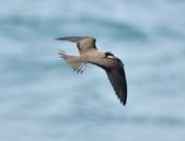 白眉燕鷗Bridled Tern :DSC_0447.JPG