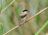 棕背伯勞 Black-headed Shrike  :DSC_2111.JPG