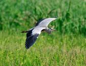 蒼鷺 Grey Heron     :DSC_5697.JPG