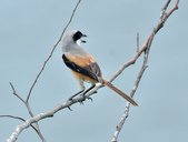 棕背伯勞 Black-headed Shrike  :DSC_2117.JPG