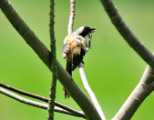 棕背伯勞 Black-headed Shrike   :DSC_3300.JPG