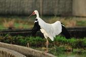 白鶴  Siberian Crane :DSC_0050.JPG