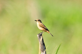 黑喉鴝Common Stonechat  :DSC_9418.JPG