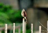 松雀鷹Besra sparrow hawk :DSC_2057.JPG