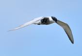 黑腹燕鷗  Whiskered Tern :DSC_3090.JPG