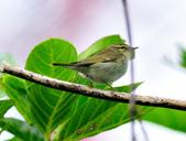 極北柳鶯Arctic Warbler   :DSC_3769.JPG