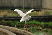 白鶴  Siberian Crane :DSC_0052.JPG