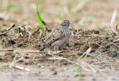 雲雀    Eurasian Skylark  :DSC_8737.JPG