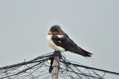 家燕  Barn Swallow   :DSC_4619.JPG