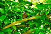 棕耳鵯Chestnut-eared Bulbul :DSC_7332.JPG