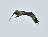 魚鷹 Osprey      :DSC_0444.JPG