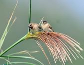 斑文鳥 Nutmeg Mannikin :DSC_6027.JPG