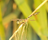 蜻蜓:DSC_8636.JPG