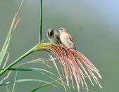 斑文鳥 Nutmeg Mannikin :DSC_6044.JPG