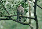 北雀鷹  Northern Sparrow Hawk :DSC_1455.JPG