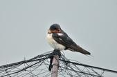家燕  Barn Swallow   :DSC_4620.JPG