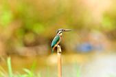翠鳥  Common Kingfisher       :DSC_6005.JPG