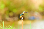 翠鳥  Common Kingfisher       :DSC_6017.JPG