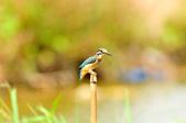 翠鳥  Common Kingfisher       :DSC_6011.JPG